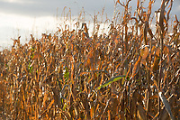 Maize<br /> Picture Tim Scrivener 07850 303986<br /> &hellip;.covering agriculture in the UK&hellip;.