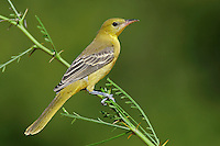 Hooded Oriole - Icterus cucullatus - female