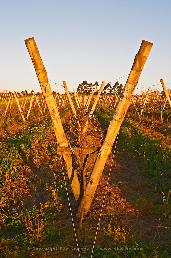 View over the vineyard at sunset. Vines trained in Lyre, winter pruned, wooden supporting posts and metal wires to tie the vines to. Bodega Carlos Pizzorno Winery, Canelon Chico, Canelones, Uruguay, South America