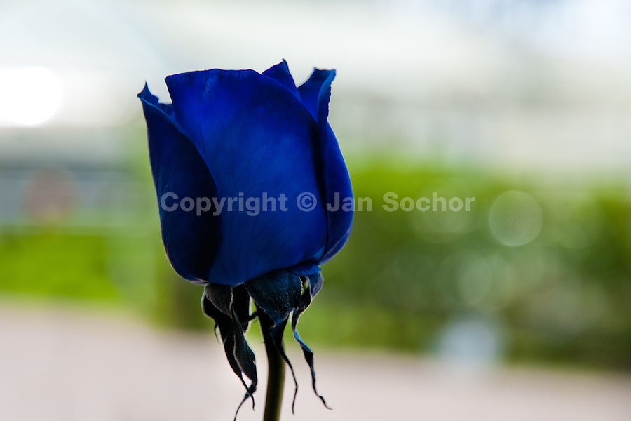 An artificially coloured blue rose grown at a flower farm in Cayambe, Ecuador, 23 June 2010. South American countries (Colombia and Ecuador) are world leaders in cut flower industry. The advantage of the moderate sunny climate, very cheap labor force in combination with the absence of social laws and environmental regulations have created perfect conditions for the cut flower production. Flower growing is very fragile and necessarily depends on irrigation and chemical maintenance, provided by highly toxic pesticides. About 50.000 workers in Ecuador, working mainly for living minimum wage, keep the floral industry going and saturate the market generated by consumerist culture the US, Canada and Europe.