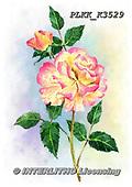 Kris, FLOWERS, BLUMEN, FLORES, paintings+++++,PLKKK3529,#f#, EVERYDAY ,rose,roses