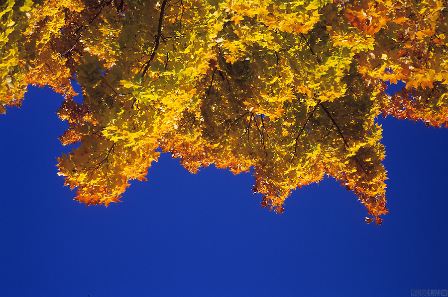 The vibrantly colored Maple trees of a Vermont autumn contrast with the brilliant blue sky.