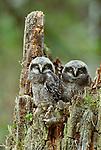 Hawk owls, Alaska