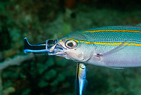 Bluestreak Cleaner Wrasse, Labroides dimidiatus, inside the mouth of Double-Lined Fusilier, Pterocaesio digramma, at a cleaning station, Cannibal Rock, Horseshoe Bay, Rinca Island, Komodo National Park, Lesser Sunda Islands, Indonesia, Pacific Ocean