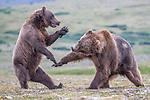 USA, Alaska, Katmai National Park, brown bear (Ursus arctos) play fighting