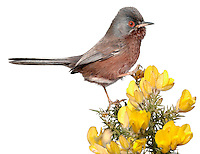 Dartford Warbler - Sylvia undata. (L 12-13cm), often seen perched on a Gorse spray with its tail cocked up, is emblematic of heathland conservation. Adults have blue-grey upperparts, reddish underparts with a white belly, a beady red eye and reddish eyering, and pinkish yellow legs; males are brighter than females. The species is often first detected by sound: it utters a tchrr-tche alarm call and has a rapid, scratchy warbling song. Dartford Warblers are restricted to Gorse-covered heathland areas in southern England and are mainly resident.