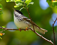 Blackpoll warbler male