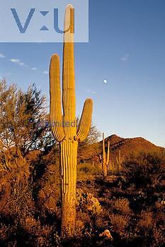 Saguaro cactus at sunset. Saguara National Park, Arizona, USA