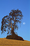 Moon and oak tree, Paso Robles, San Luis Obispo County, California