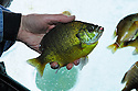 00650-019.19 Ice Fishing: Closeup of angler's hand holding nice sized sunfish caught on small jig and waxworm.  Shelter, portable, panfish.