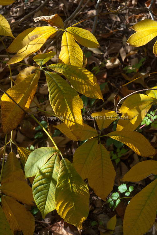 Aesculus parviflora Bottlebrush Buckeye in autumn fall foliage color