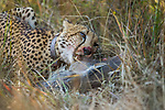 Cheetah (Acinonyx jubatus) six year old male feeding on sub-adult Warthog (Phacochoerus africanus) prey, Kafue National Park, Zambia