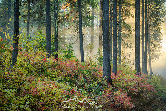 Idaho, North, Kootenai County, Light rays shine through fog and trees above autumn foliage.