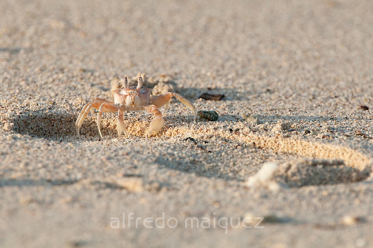 Crab digging a hole in the sand of the beach at  Isla Pacheca shore. Las Perlas Archipelago, Panama Province, Panama, Central America.