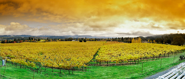 St. Helena vineyard in autumn as seen from house of Charles O'Rear