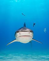 tiger shark, Galeocerdo cuvier, West End, Grand Bahama, Bahamas, Caribbean Sea, Atlantic Ocean