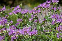 Monarda fistulosa (Wild Bergamot or Bee Balm, Horse-Mint) flowering in low water New Mexico meadow garden