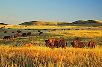 American Bison herd.  Western U.S., summer.