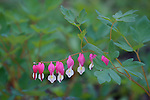 Bleeding hearts blooming at Sugarpine Point State Park, Lake Tahoe