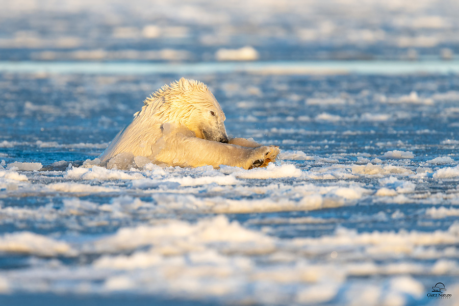 """Using his paws and his head to crash through the ice on the surface, a large male Polar Bear (Ursus maritimus) does his best """"Superman"""" imitation. Incredibly powerful swimmers with plenty of blubber for insulation, the Polar Bears we saw in Kaktovik seemed to really enjoy swimming in the icy bay."""