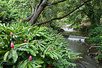 Red torch ginger plants cluster near a Nu'uanu stream, O'ahu.