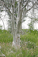 Gespinnstmotte, Traubenkirschen-Gespinnstmotte, Gespinstmotte, Traubenkirschen-Gespinstmotte, Raupen haben den Busch einer Gemeinen Traubenkirsche komplett eingesponnen und kahl gefressen, Yponomeuta evonymella, Bird-cherry Ermine, Gespinstmotten, Gespinnstmotten, Yponomeutidae