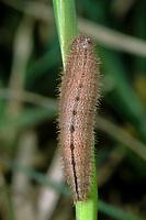 Brauner Waldvogel, Schornsteinfeger, Raupe, Aphantopus hyperantus, ringlet, caterpillar, Le Tristan