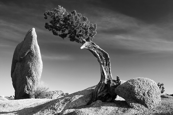 Black and white of lone tree and standing rock at Joshua Tree.