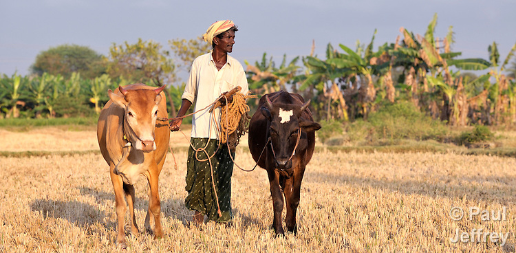 A man walks his cows across a field outside Nallur, a small village in the state of Tamil Nadu in southern India.