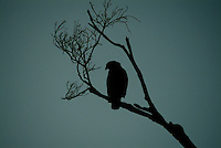 A silhouette shot of The Crested Serpent Eagle, (Spilornis cheela) is a bird of prey. Like all eagles, it is in the family  Accipitridae. The Philippine Serpent Eagle (S. holospila) is sometimes included here as a subspecies.The Crested Serpent Eagle can be found in a large geographical region from South Asia, including Pakistan, India and Sri Lanka, to Southeast Asia, extending to southern China and Indonesia. This forest bird nests in treetops near fresh water. Its nests are constructed with sticks and contain not more than a single egg at a time.
