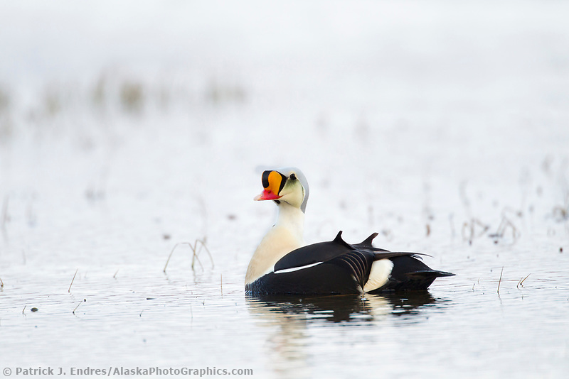 Colorful male King eider duck in breeding plumage, swimming in a tundra pond in Alaska's Arctic.