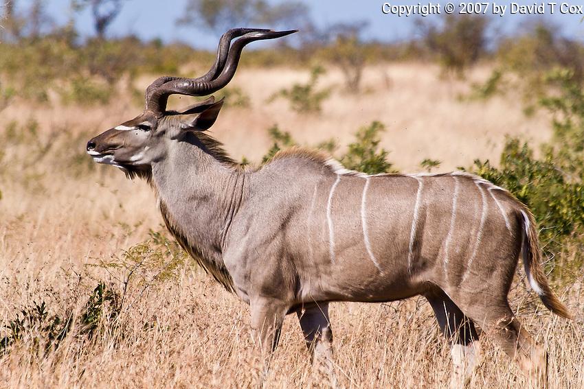 Greater Kudu, Kruger NP, SA