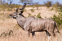 Greater Kudu, Kruger NP, SA