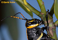 0913-0811  Adult Horse Lubber Grasshopper - Taeniopoda eques © David Kuhn/Dwight Kuhn Photography.