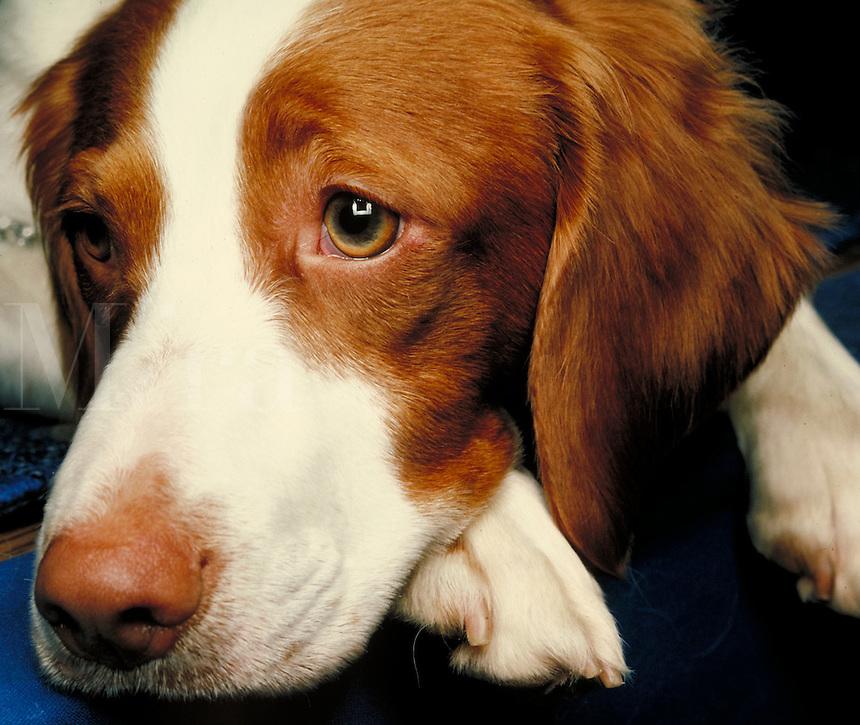 Brittany breed facial close up. San Francisco California, San Francisco Dog Show.