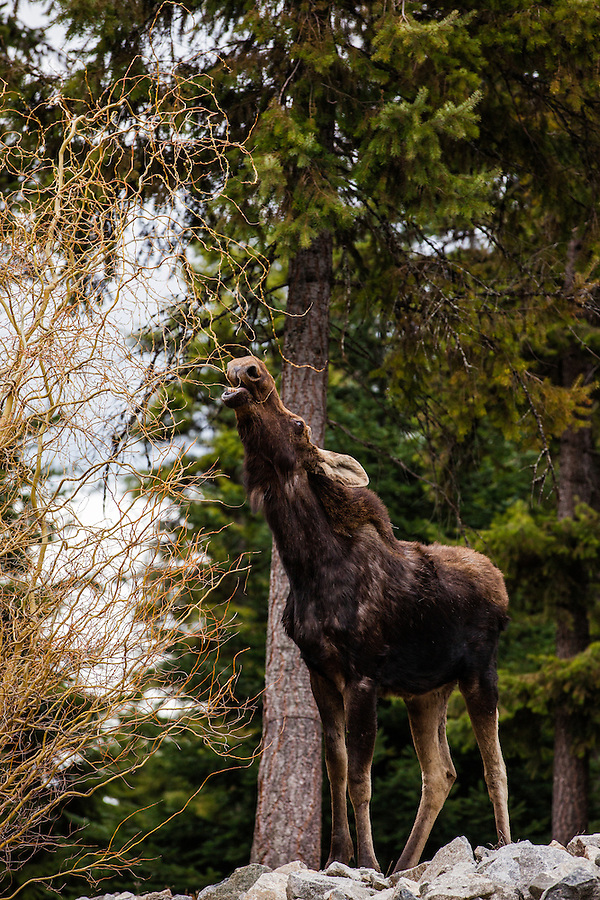A young bull moose without antlers chews on tree branches while standing on a rocky hill in Bonner County, Idaho.