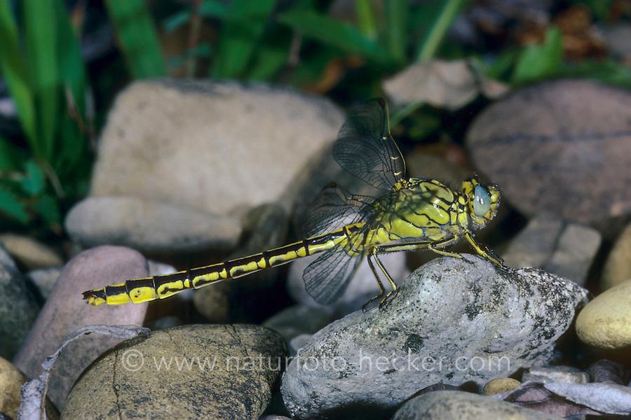 Westliche Keiljungfer, Gomphus pulchellus, western clubtail, le Gomphe gentil, Gomphidae, Flussjungfern, Flußjungfern