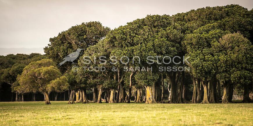 Group of trees, Wairarapa Farmland, New Zealand - stock photo, canvas, fine art print