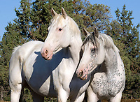 Colorful Thoroughbred, colored Thoroughbred, white Thoroughbred, Painted Desert Farm, paint Thoroughbred, Dalene Knight, Don Irvine, Oregon, racehorse, horse racing, horse breeding, farm, horse farm, Paint Thoroughbred, pinto Thoroughbred, spotted Thoroughbred