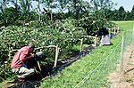 GM poplars cut down by protestors at <br /> Astra Zeneca's head quarters  at Jealot's Hill near Basingstoke.<br /> .