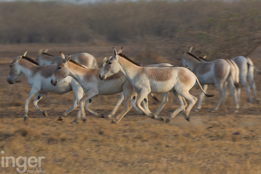 Indian Wild Asses in the Little Rann of Kutch, Gujarat, India