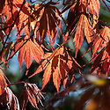 Acer palmatum 'Beni Kagami', late April.