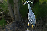 Yellow Crowned Night Heron at Spittle Pond Nature Preserve in Bermuda.