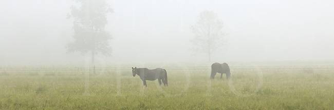 Mares let out into in early morning summer fog, 3 to 1 panoramic image.