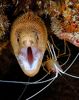 Goldentail Moray Eel (Gymnothorax miliaris) being cleaned by a Scarlet-Striped Cleaning Shrimp (Lysmata grabhami), Boynton Beach, Florida, USA, Atlantic Ocean