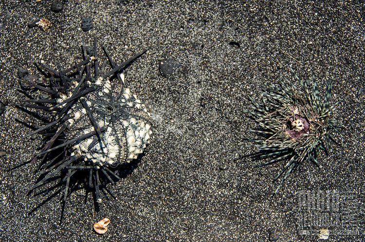 A close-up of two sea urchins drying in the sun, Keawaiki Bay beach, Big Island of Hawai'i.