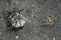 A close-up of two sea urchins drying in the sun, Keawaiki Bay beach, Big Island of Hawai'i.