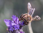 Bee collecting nectar from lavender flower, in local park, Sydney, NSW, Australia.