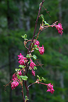 Red Flowering Currant (Ribes sanguineum), North Cascades National Park, Washington, US