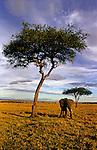 Africa, Kenya, Maasai Mara. A solitary elephant wanders the vast African landscape.